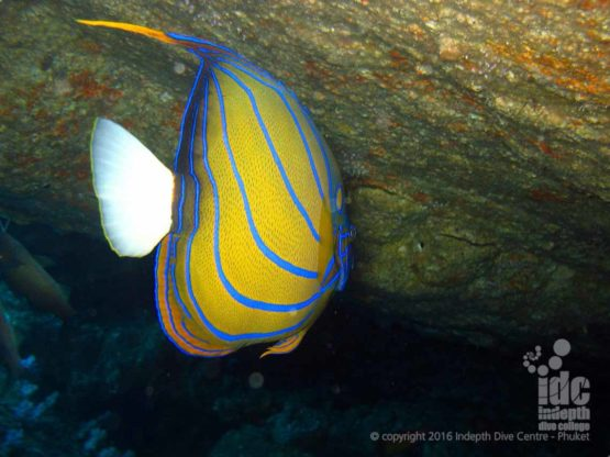 Angel Fish on an Andaman Sea Night Dive at Turtle Rock