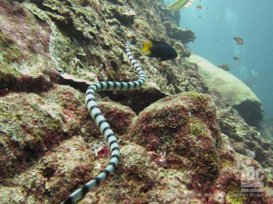 At Christmas Point you may see Sea Snakes similar to on Phuket Dive Sites
