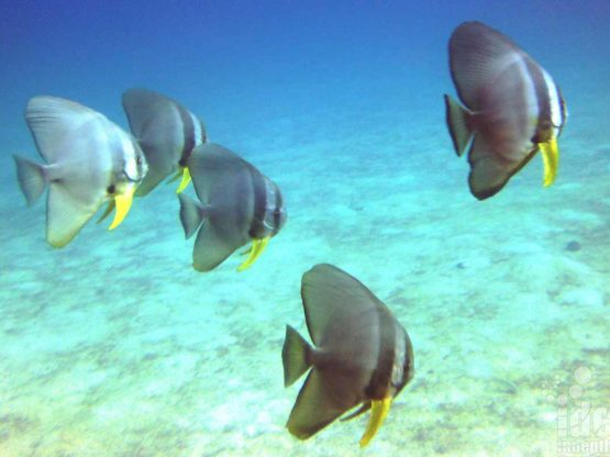 Batfish seen on a PADI Underwater Naturalist dive and are very friendly and like to follow scuba divers