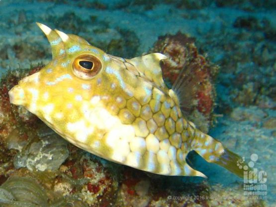 Cowfish and other Box Fish are seen all over the Andaman Sea