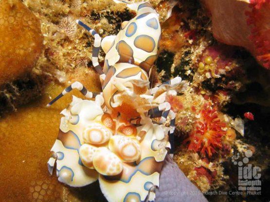 Diver spotting a Harlequin Shrimp on his PADI Underwater Naturalist Course