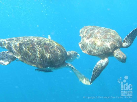 Two Hawksbill turtles seen on a Phuket EANx dive