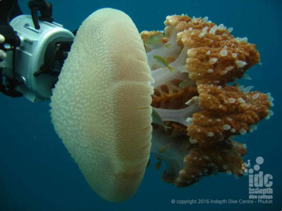 Jelly Fish are interesting to watch on a PADI Underwater Naturalist Dive