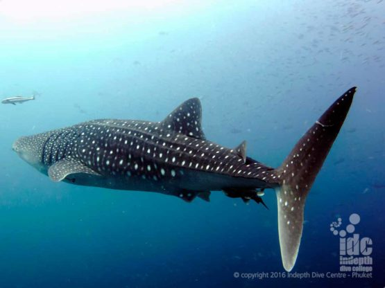 Whale sharks can be seen on AWARE Shark Conservation Course on Phuket Thailand