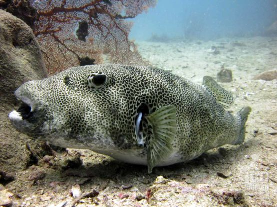 Phuket has many species of Pufferfish amongst it's Marine Life