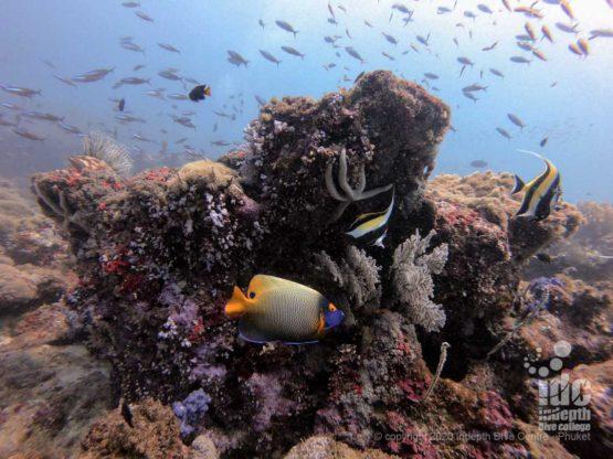 Pristine coral reef at Tachai Pinnacle best Thailand dive sites