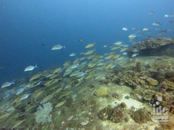 Large schools of fish always roaming around Tachai Pinnacle