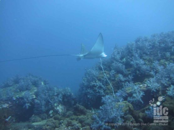 Eagle Ray spotted at Anemone Reef on a Phuket Day Trip with Indepth Dive Centre Phuket