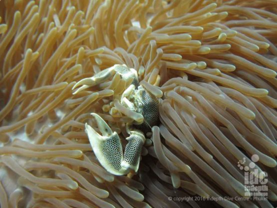Anemone Crab at Western Rocky makes excellent underwater photos