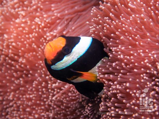There are plenty of anemones with clownfish on the shallow reef at Koh Bida Nai
