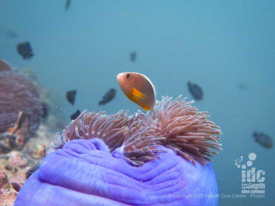 Cute skunk anemonefish Phuket Diving