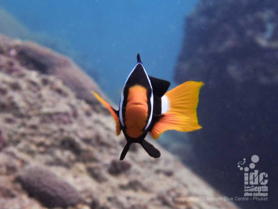 Curious Anemonefish at Palong Wall diving Thailand