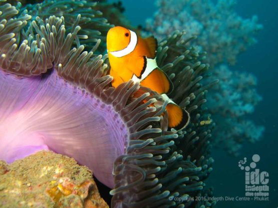 We would love to know how many Clown Fish there are at Anemone Reef Phuket