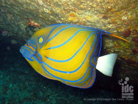 Angel FIsh seen at the Burma Banks on a Night Dive