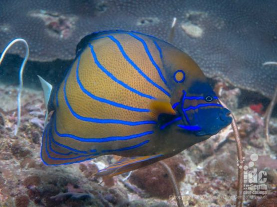 Beautiful striped Angelfish, a common find when diving Koh Haa Yai
