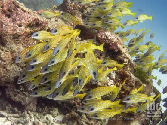 Beautiful school of Yellow Snappers at Anita's Reef