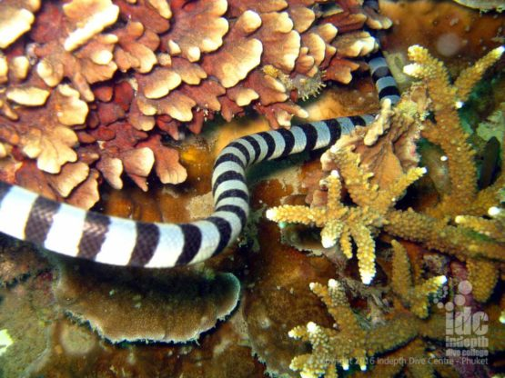 Banded Sea Snakes can be seen on many Similan Dive Sites inicludinig Turtle Rock
