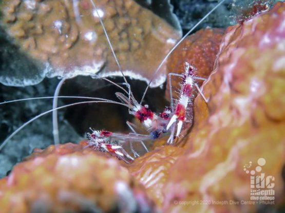 Macro life is abundant at Koh Haa Yai, including banded boxer shrimps