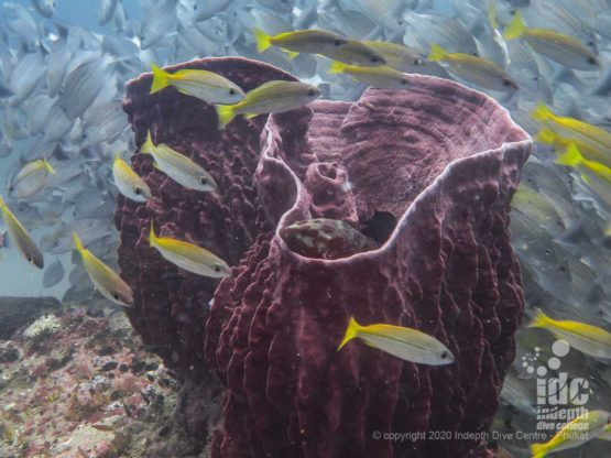 There are lots of large barrel sponges on the healthy reef of Koh Bida Nok