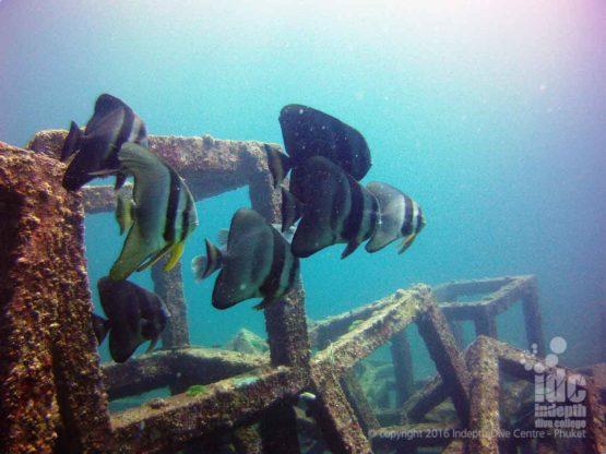 Batfish on the articifial reef at Racha Yai Bay 1