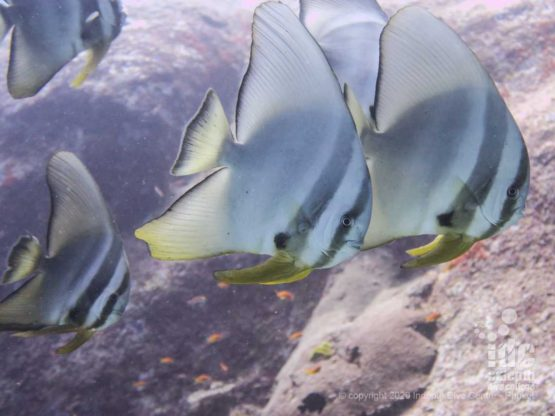 Courious batifish are residents of Boulder City dive site in Similan Islands