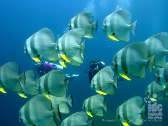 There are large schools of Bat FIsh at Maritas Rock & Marina Bay