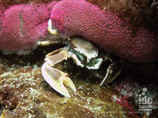 Macro life at Beacon Reef - Similan Islands Dive Sites