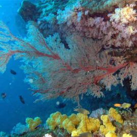 Stunning photo from Beacon Reef in The Similans of some huge Sea Fans