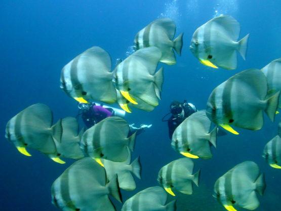 Ko Bida Nok is a great Phi Phi Dive Site for diving with Bat Fish