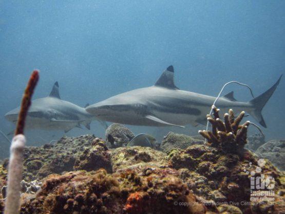 Koh Bida Nok is the best Thailand dive site for black tip reef sharks