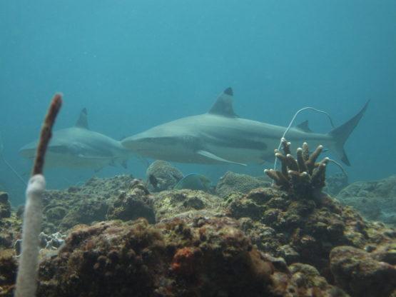 Shark Diving at Ko Bida Nok with Black Tip Reef Sharks
