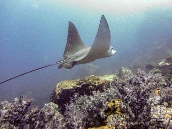 Beautiful eagle ray at Black Rock - Diving Myanmar