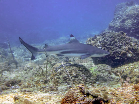 Thailand shark diving - Palong Wall in Phi Phi Island is one of the top spots for black tip reef sharks