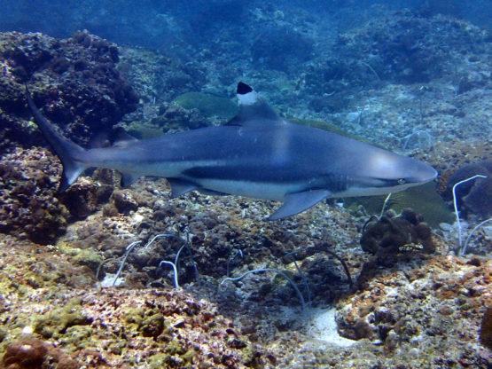 Ko Bida Nok best Phi Phi dive site for Blacktip Reef Sharks