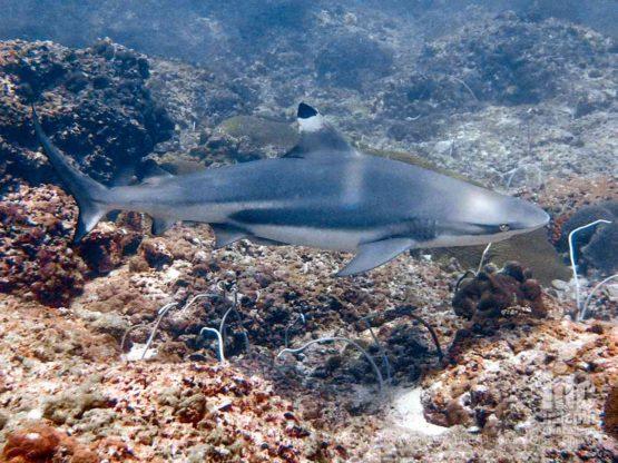 A large resident population of black tip reef sharks makes Koh Bida Nok the best Phi Phi Island Dive site
