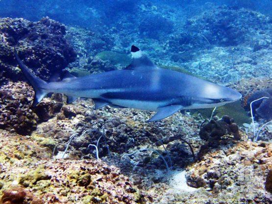 Black Tip Reef Shark on a Phuket AWARE Shark Conservation Course