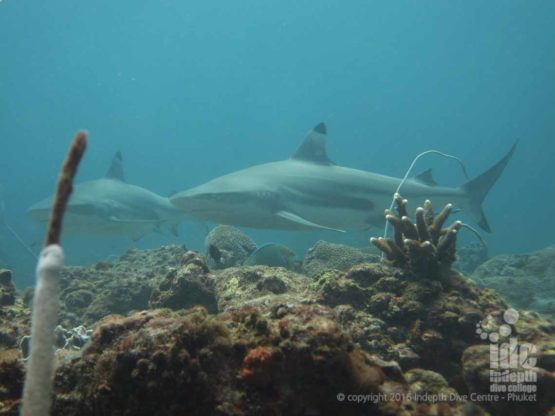 Blacktip Sharks are often seen at Maritas Rock & Marina Bay Racha Noi Island