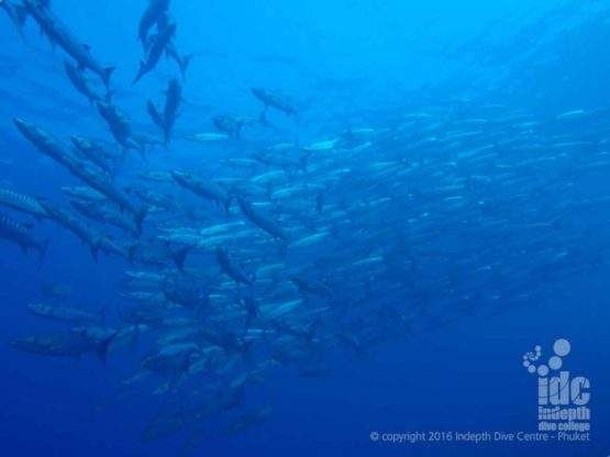 Breakfast Bend is a superb dive site for Barracudas
