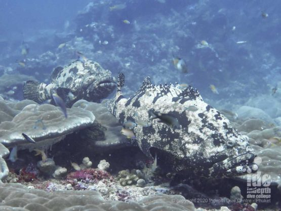 The reef at Breakfast Bend hosts many large Marbled Groupers