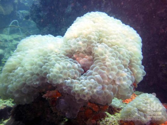 Bubble corals can be find diving at Phi Phi Coral Reef Conservation Project