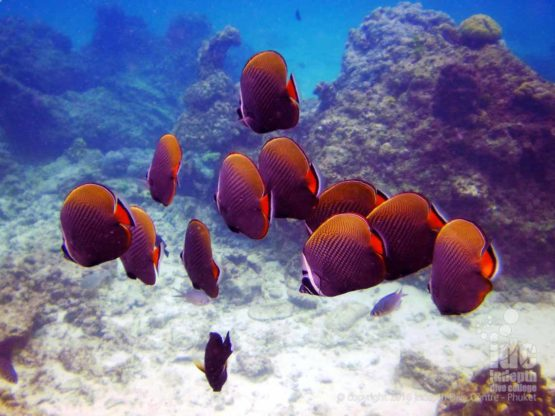 PADI Fish ID: School of Red Tail Butterfly Fish at a local Phuket Reef