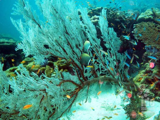Always nice to dive with Butterfly Fish, Reef and Corals on Phuket