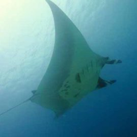 Manta at Chinese Wall on a Similan Islands Liveaboard