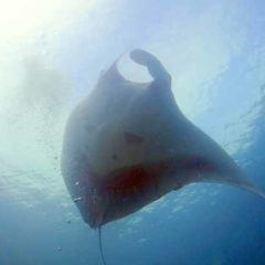 Manta Fly By at Christmas Point on a Similan Island Liveaboard