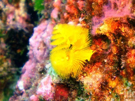 Christmas Tree Worms seen by Coral Reef Conservation diver on a local Phuket reef