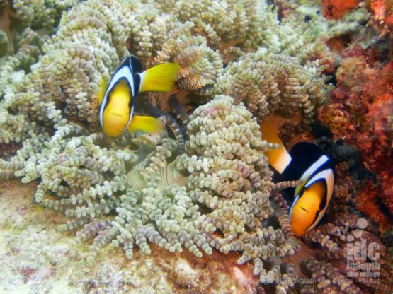 Everyone loves Clarks Anemone Fish at Boulder City