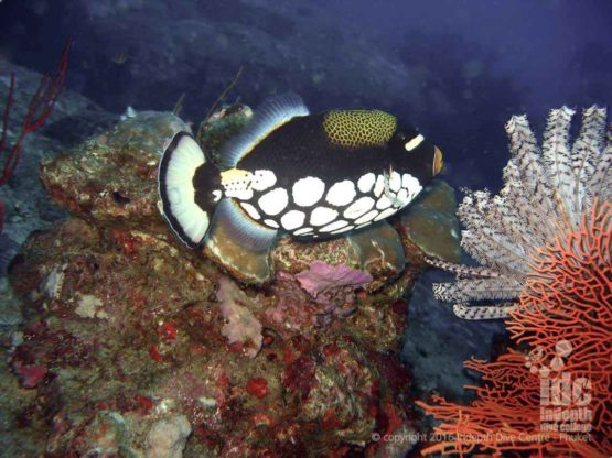 Beautiful clown triggerfish is a common sight when diving West of Eden