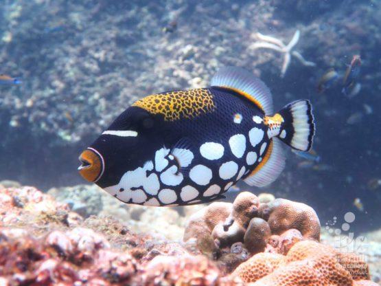 Beautiful Clown Triggerfish at Koh Bida Nok Phi Phi