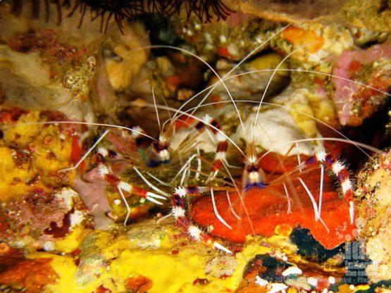 Coral Banded Clearner Shrimp at Chinese Wall Similans