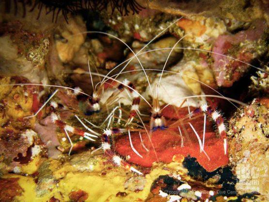 Macro photography - banded boxer shrimps at Chinese Wall SImilan